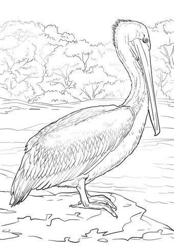 Eastern Brown Pelican Coloring Page From Pelicans Category Select