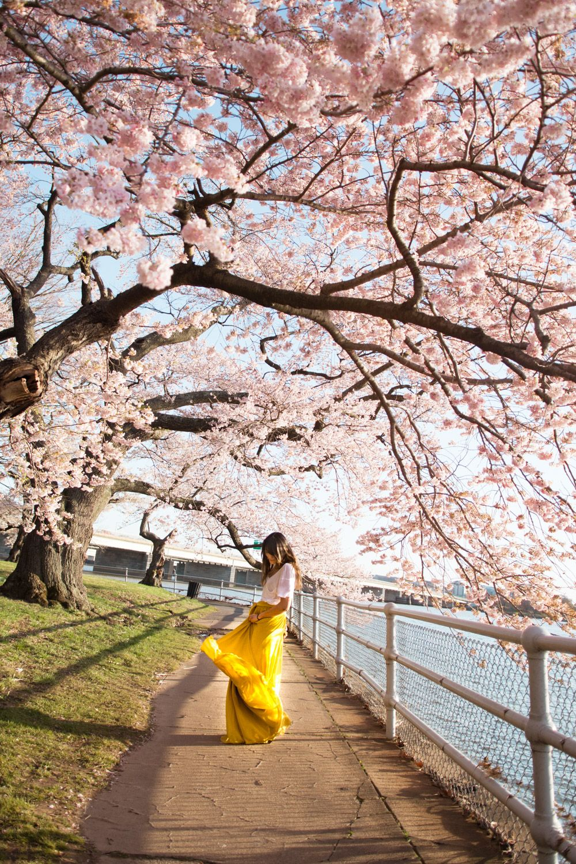 The 2021 Guide To Washington Dc Cherry Blossom Peak Bloom Cherry Blossom Pictures Cherry Blossom Dc Cherry Blossom Festival