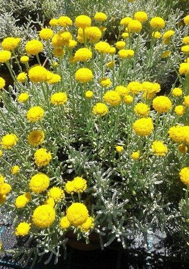 Planta De Santolina Con Flor Amarilla Y Hoja Plateada Aromaticas Y