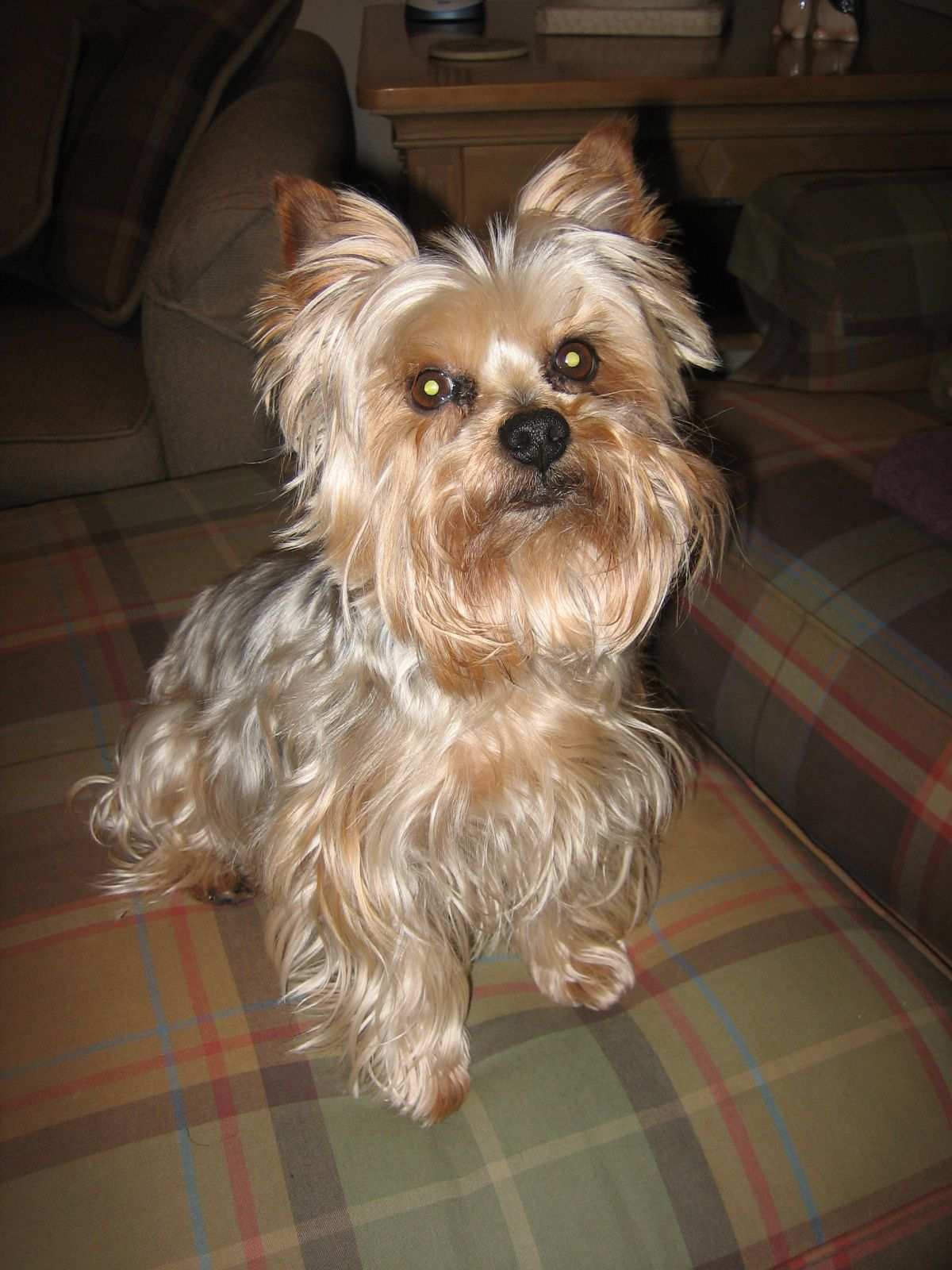 Pin by Michelle Darrow on Yorkies Yorkshire terrier