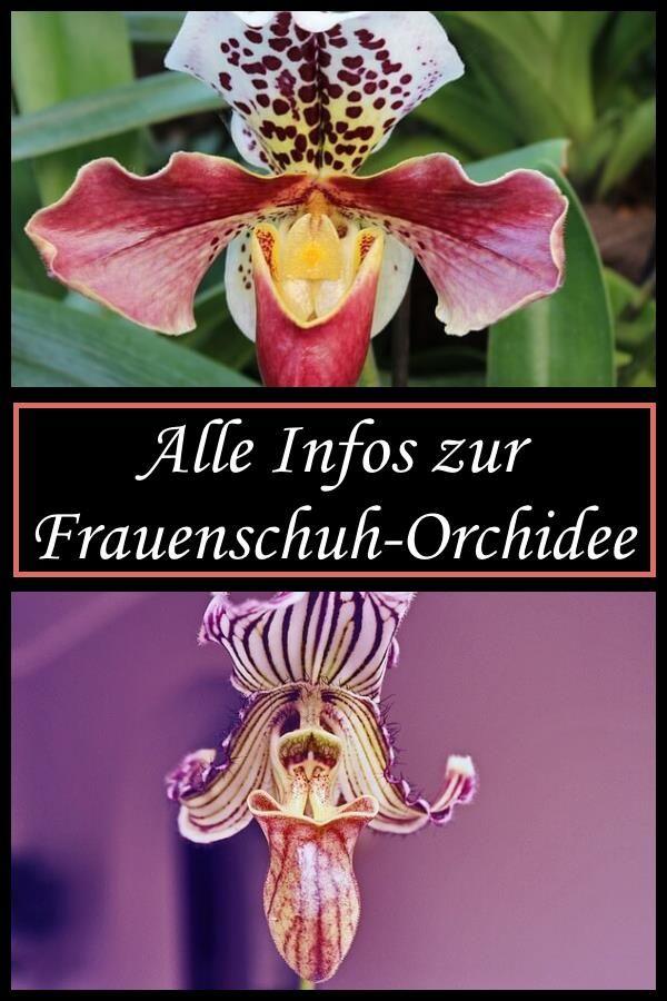 Frauenschuh-Orchideen #orchideenpflege