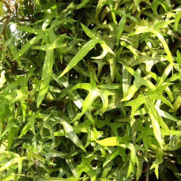 lierre d 39 ornement hedera helix sagittifolia jardin haie pinterest gardens. Black Bedroom Furniture Sets. Home Design Ideas