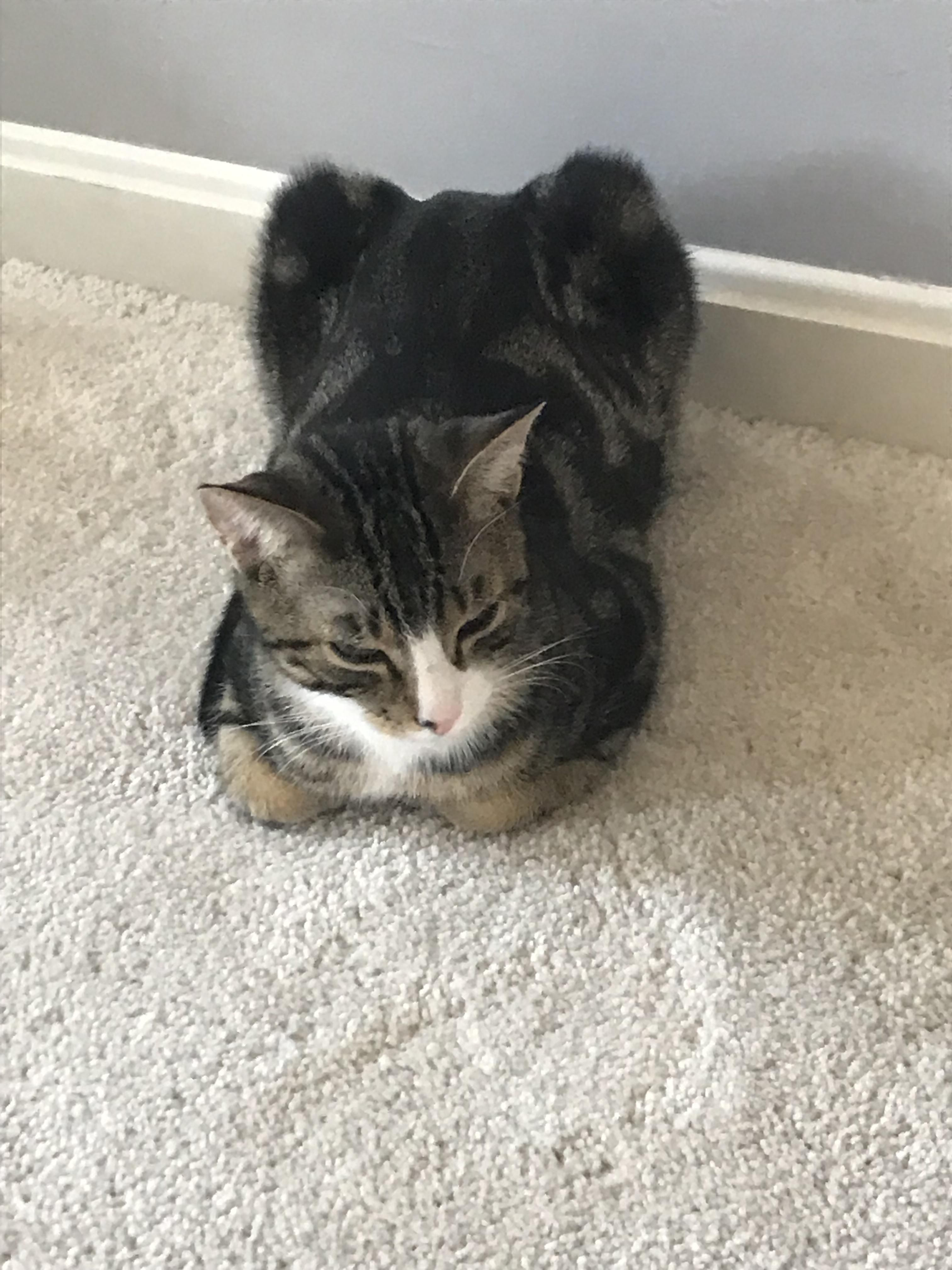 The Black Tiger Cat Loaf Are Best Left To Rise In Their Own Time Cats Black Tigers Kittens Cutest