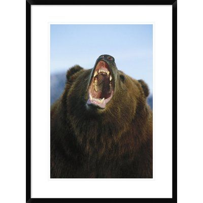"""Global Gallery 'Grizzly Bear Close Up of Growling Face' Framed Photographic Print Size: 30"""" H x 22"""" W x 1.5"""" D"""