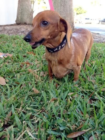 Adopt Petunia on Adoptable dachshund dog, Cute animals