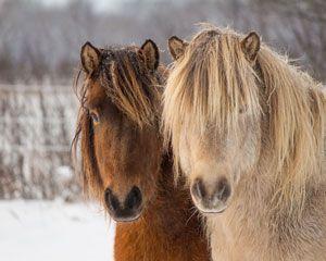 islandske heste og islandshestefolk