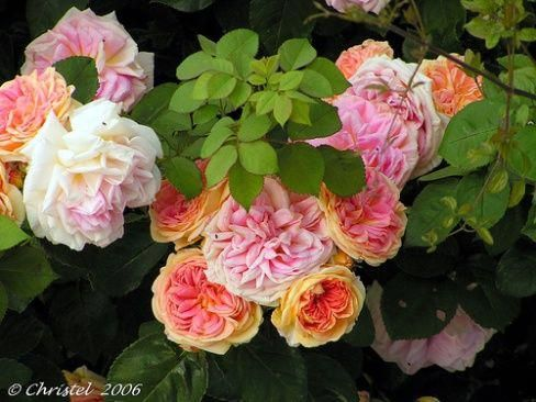 Planting 101 How to Grow Roses is part of Rose garden Landscaping - In general, growing roses will not require someone to be good at gardening  So if you basically just want to grow a rose bush but has no experience at growing flowering plants such as roses, then there are a few easy and essential steps that you can follow on how to grow Roses  When it …