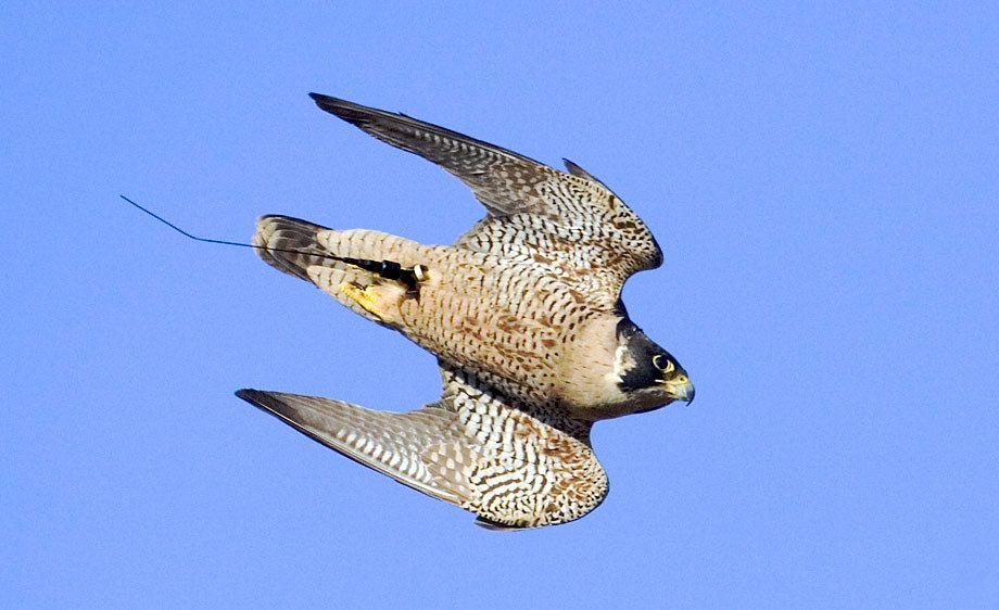 448016 Capucha halcón amarilla playmobil,zoo,faucon,hawk,falco
