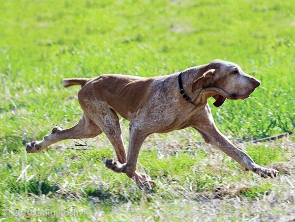 five bracco italiano dogs - photo #42