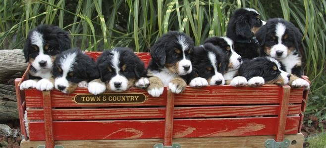 Bernese Mountain Dogs By Harmony Bmd Out Of Eaton Rapids Mi Bernese Mountain Dog Mountain Dogs Eaton Rapids
