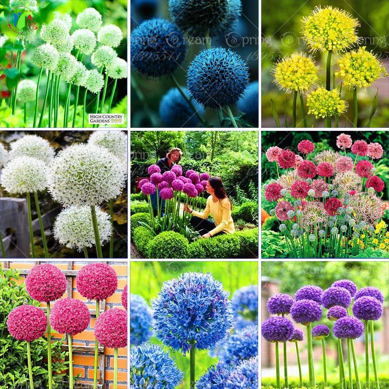 100 Purple Giant Allium Giganteum Beautiful Flower Seeds Garden Plant Budding Rate 95 Rare Flower With Images Flower Seeds Allium Flowers Allium Giganteum