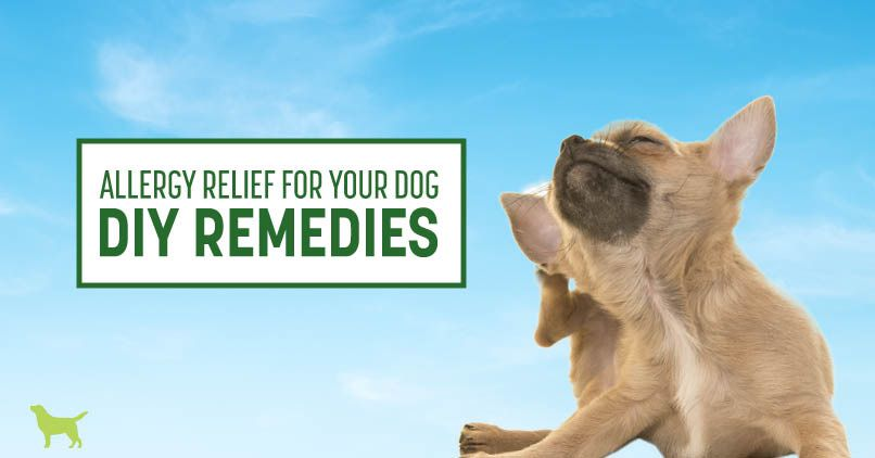 Dog Allergies 7 Diy Remedies That Work Dogs Naturally Dog Allergies Asthma Treatment Essential Oils For Asthma