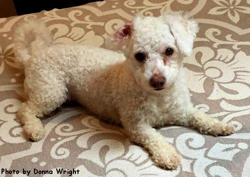 Maltipoo Dog For Adoption In Oak Ridge Tn Adn 524487 On Puppyfinder Com Gender Female Age Adult Maltipoo Dog Dogs Maltese Poodle