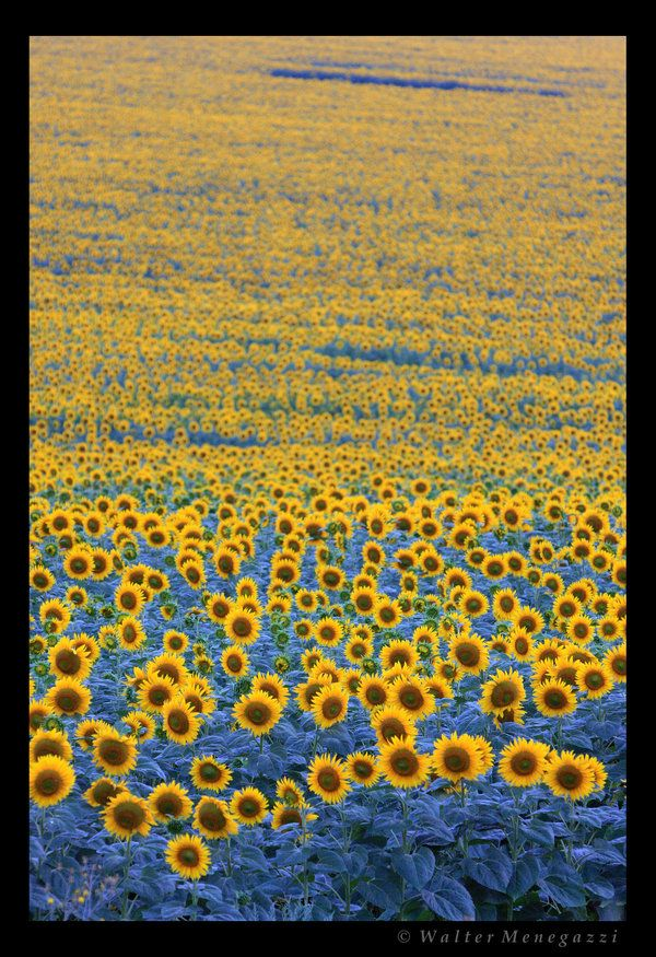Sunflowers At Sunset By Colpewole On Deviantart Sunflower Fields Sunflowers And Daisies Sunflower