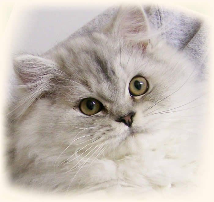 Doll Face Persian Cat. Persian kittens, Persian cat