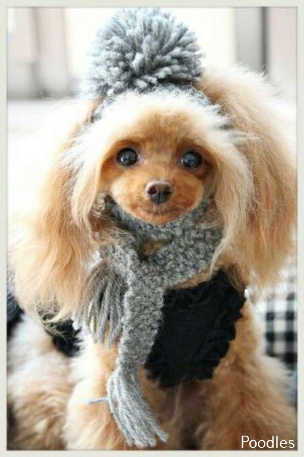 Poodles Smart Active And Proud En 2020 Animaux Mignons Toilettage Animaux