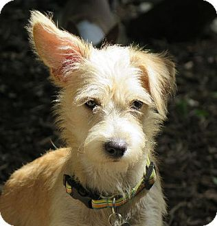 San Antonio, TX Westie, West Highland White Terrier Mix