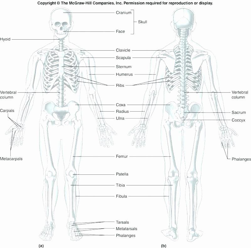 Printable Anatomy Labeling Worksheets Beautiful Skeleton ...