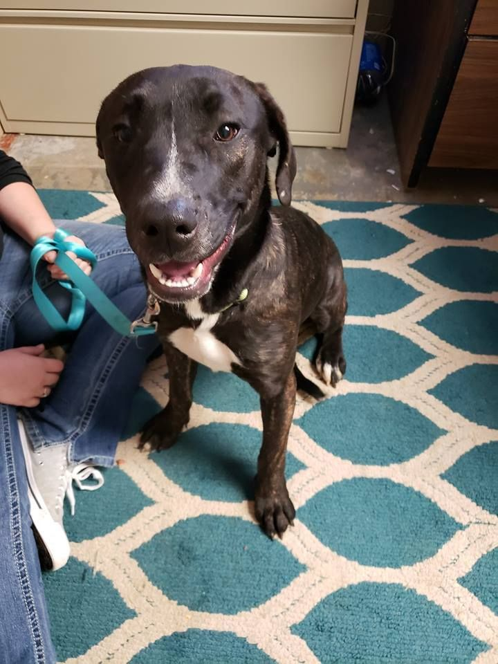Adopt Hershey on Pets, Mastiff mix, Animal rescue