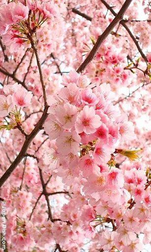 Latest Japanese Cherry Blossom Live Wallpaper - positive ...