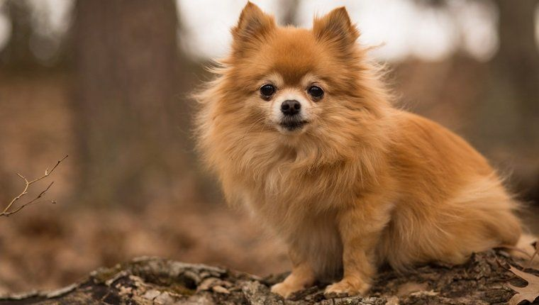 Pomchi Mixed Dog Breed Pictures Characteristics Facts Pomeranian Hunde Und Welpen Kaufen Ebay Kleinan In 2020 Dog Breeds Pictures Chihuahua Terrier Mix Pomeranian Dog