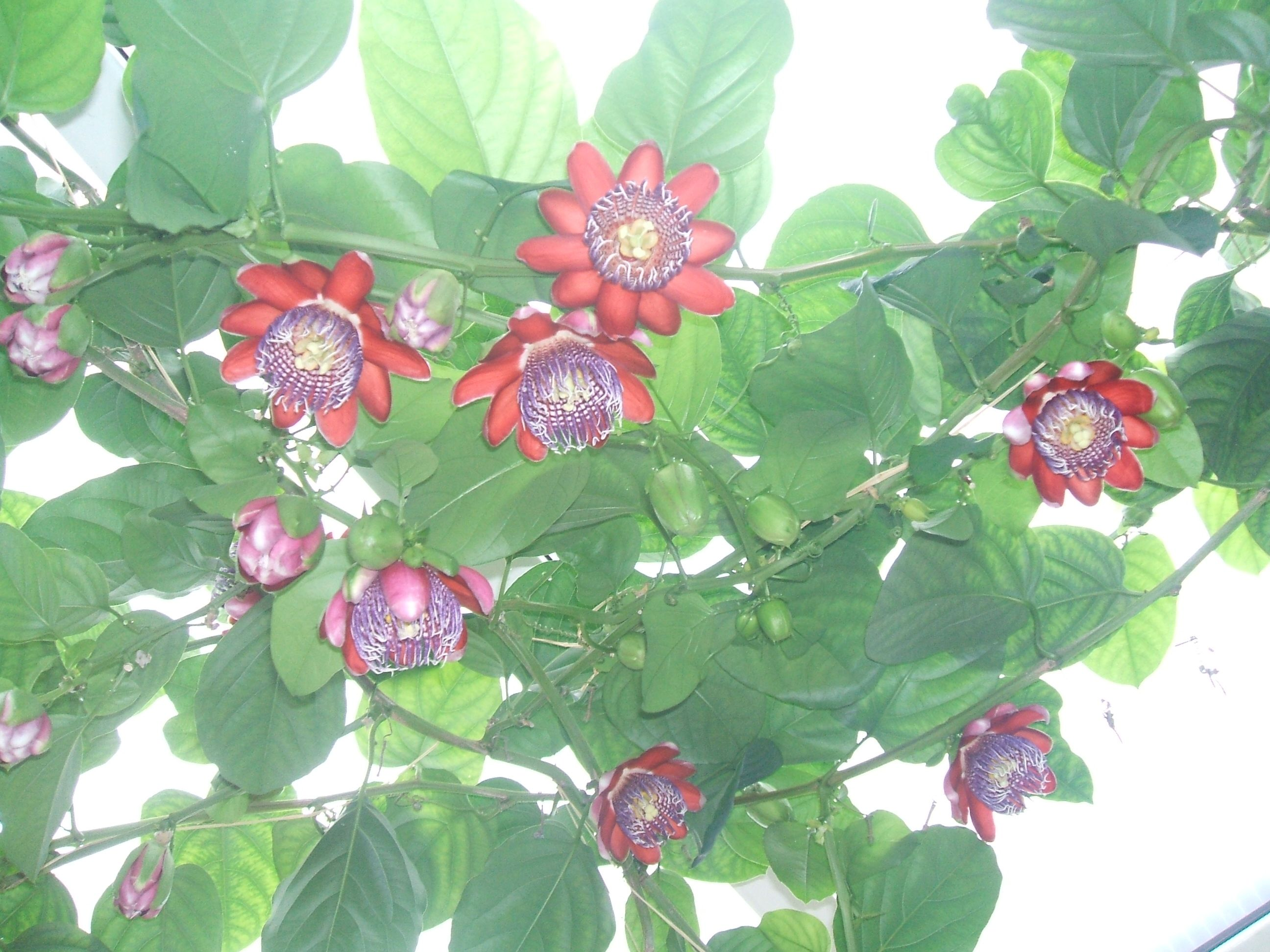 Passiflora quadrangularis.