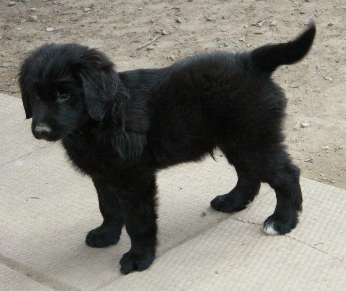 A Beautiful Black Newfoundland X Golden Retriever Puppy Puppies