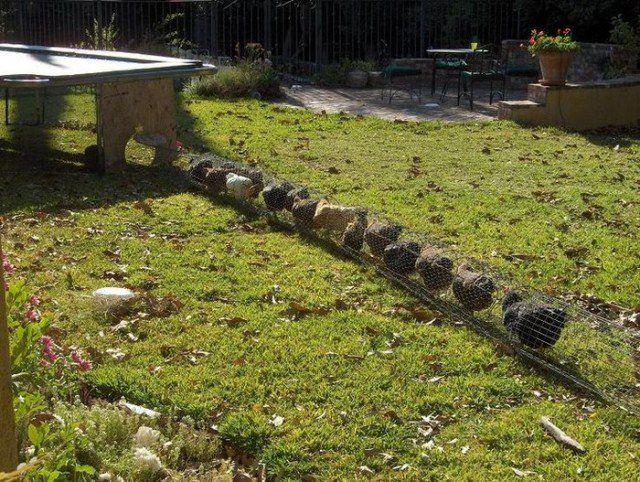 How to Build a DIY Backyard Chicken Tunnel Backyard chickens