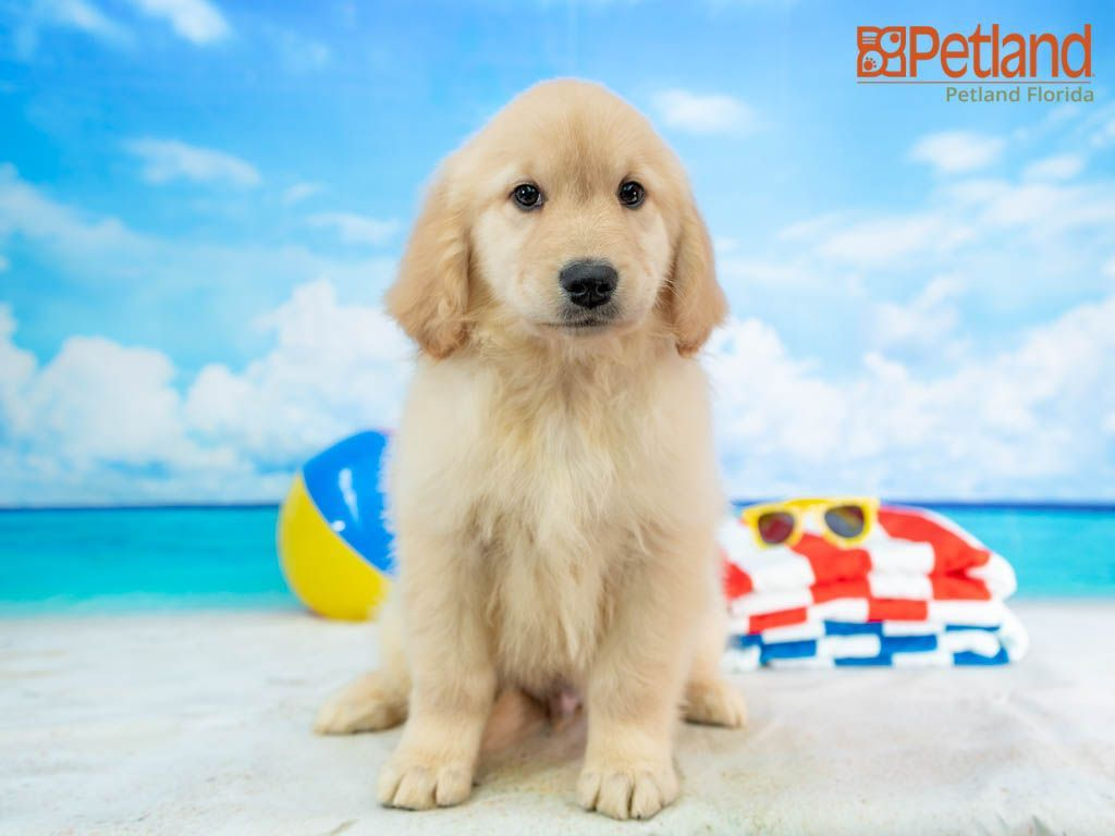 Petland Florida has Golden Retriever puppies for sale! Check out all our available puppies!   #goldenretriever #puppy #doglover #adorable #dog #cute #pet #dogoftheday #photooftheday #puppylove #puppies #puppyoftheday