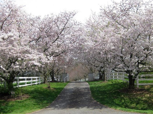 Cherry Lined Drive I Like The Gates Down The Way A Bit Could Use Different Trees From That Point On Tree Lined Driveway Dream Backyard Garden Tree Line