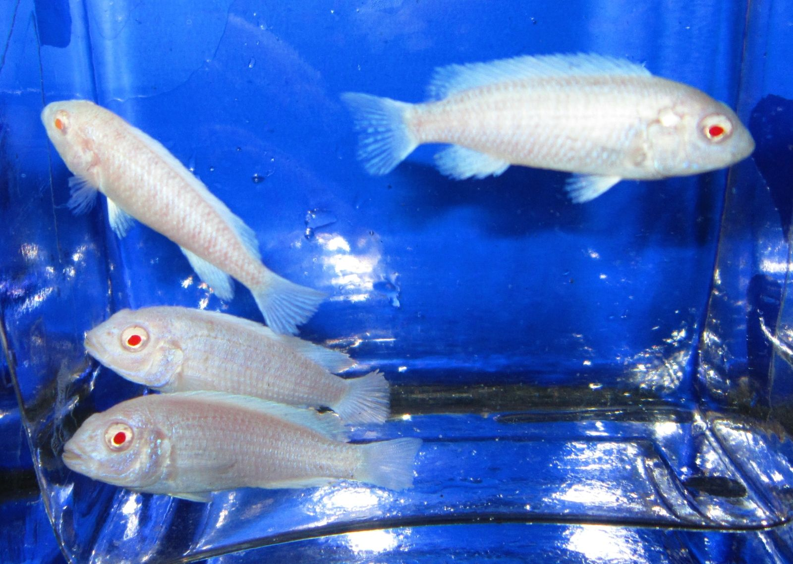 500 freshwater aquarium fish by greg jennings - Snow White Albino Zebra 1 5 African Cichlid For Freshwater Aquarium Fish