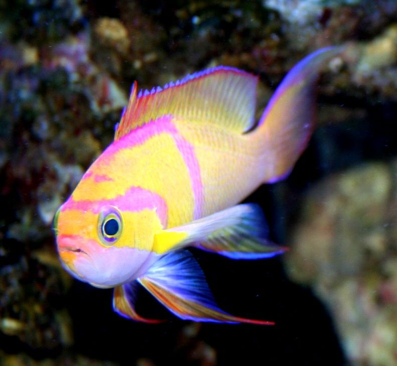 Show Me Your Anthias Page 4 Reef Central Online Community Marine Fish Pretty Fish Saltwater Fish Tanks