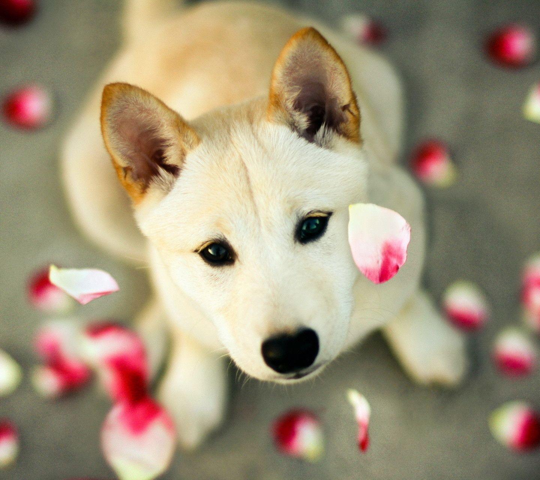 Pitbull Dog Wallpapers Wallpaper 1440×1280 Image Dog