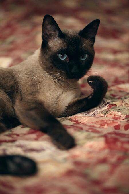 Chocolate Cat Furry Pretty Cats Siamese Cats