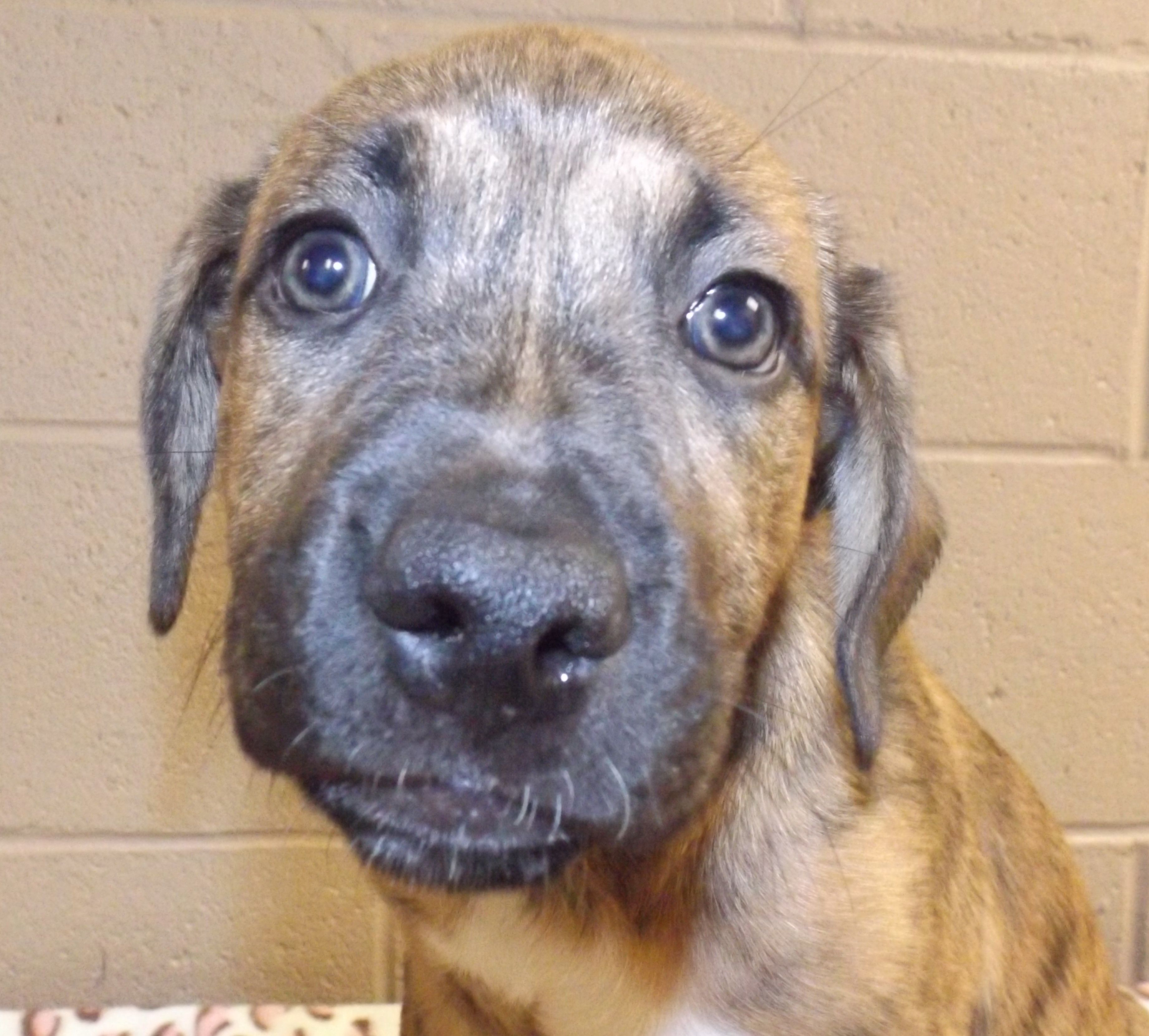 BullBoxer dog for Adoption in Oxford, MS. ADN564315 on