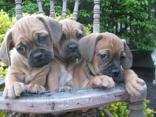Adorable and Wrinkly Puggle puppies. Reminds me of when