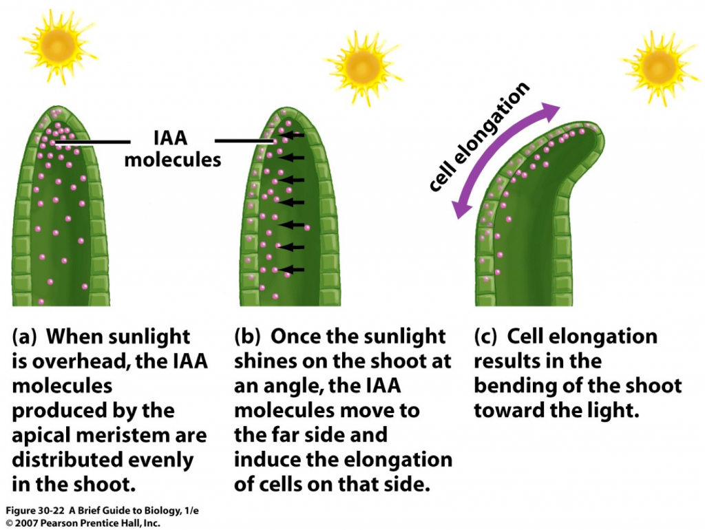phototropism in plants higher biology revision biology phototropism in plants higher biology revision