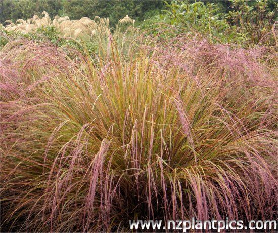Google image result for for Names of ornamental grasses