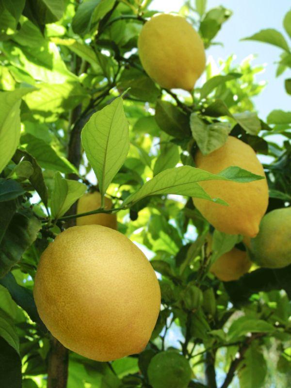 Lemon tree. Want for the garden