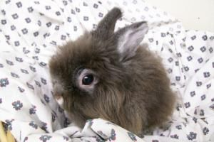 Adopt Grizzly On With Images Lionhead Rabbit Cute Animals Grizzly