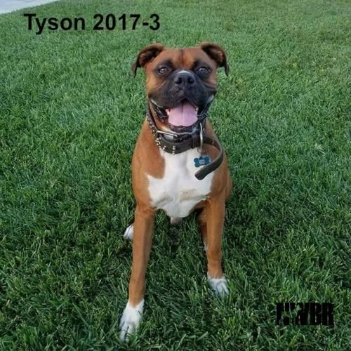 """Tyson 2017-3: """"I'm spending the rest of my days with my forever family! Thanks, NWBR!"""""""