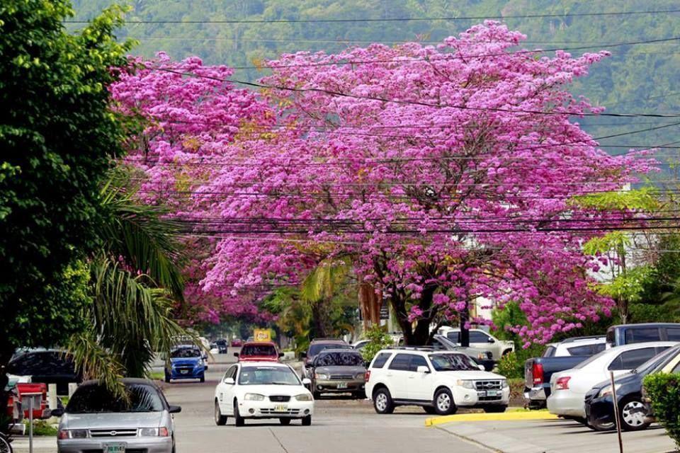 Hermoso árbol de Macuelizo, san Pedro Sula #sanpedrosula Hermoso árbol de Macuelizo, san Pedro Sula #sanpedrosula Hermoso árbol de Macuelizo, san Pedro Sula #sanpedrosula Hermoso árbol de Macuelizo, san Pedro Sula #sanpedrosula Hermoso árbol de Macuelizo, san Pedro Sula #sanpedrosula Hermoso árbol de Macuelizo, san Pedro Sula #sanpedrosula Hermoso árbol de Macuelizo, san Pedro Sula #sanpedrosula Hermoso árbol de Macuelizo, san Pedro Sula #sanpedrosula