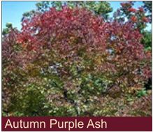 Autumn Purple Ash H 50 60 S 30 40 Shape Oval Foliage Dark Green Fall Color Awesome Deep Or Mahogany A Budded Selection Of White That