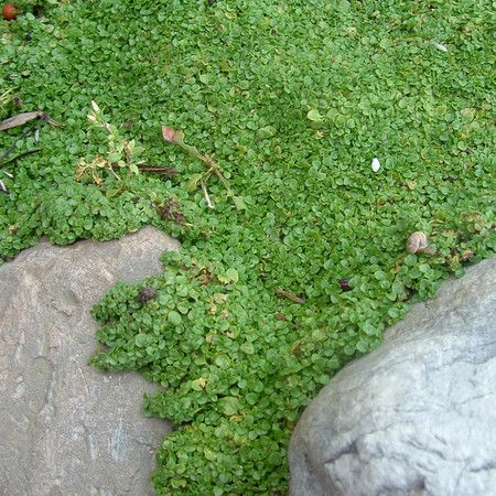 Corsican Mint For Between The Cracks Corsican Mint Ground Cover Landscaping Plants
