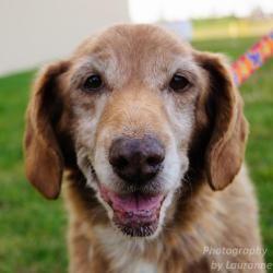 Adopt Belle On Dogs Golden Retriever Golden Retriever Golden Retriever Beagle Mix