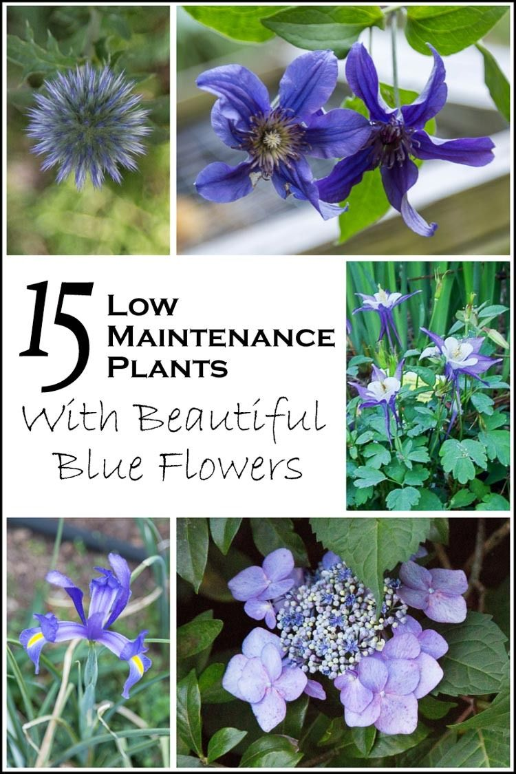 15 of the best easy care perennials with beautiful blue for Easy maintenance plants and flowers