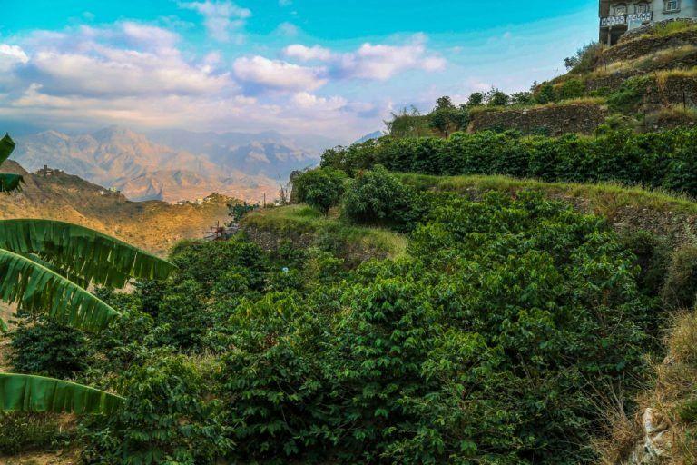 250 طن ب ن عالي الجودةمن 75 ألف شجرة لـ 700 مزارع تزين جبال محافظة الدائر بني مالك بمنطقة جازان و أرامكو تساند بإقامة مصنع و Nature Natural Landmarks Outdoor