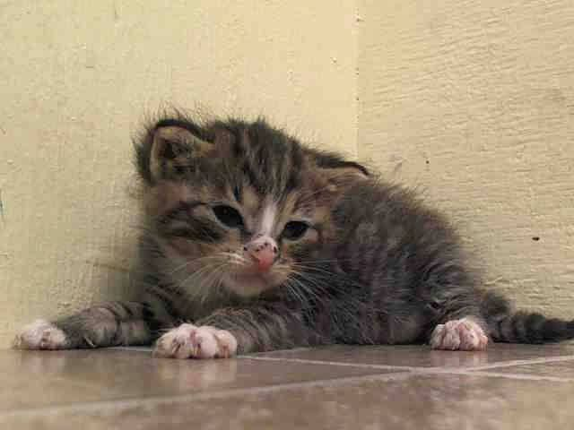 Safe To Be Destroyed 6 26 14 Baby Alert Only 4 Weeks Old 3 Kittens Came Together A1003735 736 767 Start To Eat On Own B Animals My Animal Puppy Adoption