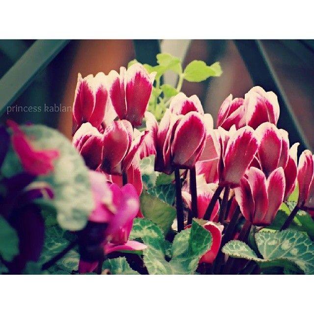 زهور توليب جميلة من تصوير صديقتنا الجديدة أميرة في أول مشاركة لها معنا شكرا على الصورة فصل الربيع ربيع الربيع مشروع52صورة مشرو Flowers Photo Plants