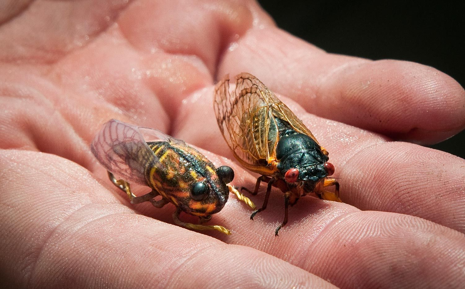 Super Realistic Cicada Pattern From Montana Fly Company